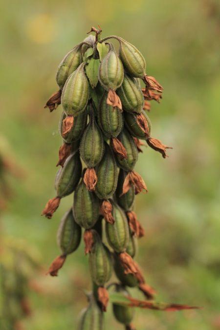 Epipactis palustris  - Ghislain Constans