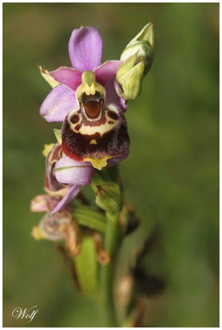 Ophrys gresivaudanica  - Wolf Fischer