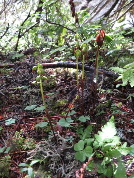 Corallorhiza trifida  - Philippe Munier