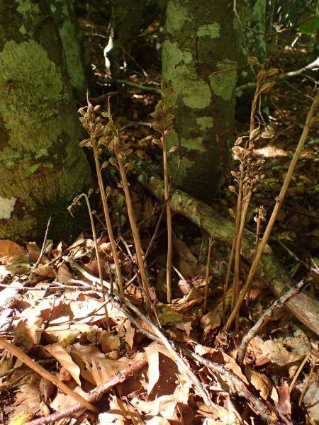 Corallorhiza trifida  - Bruno Daviet