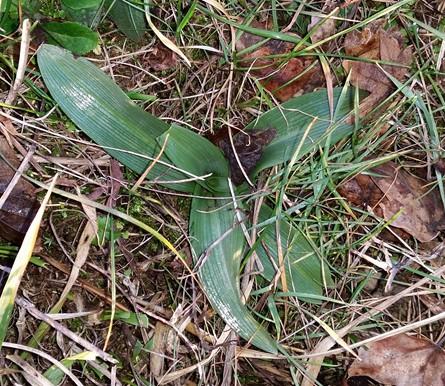 Ophrys sp.  - Jacques Gilardin