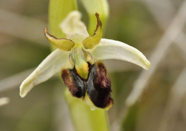 Ophrys araneola  - Serge Benedetti