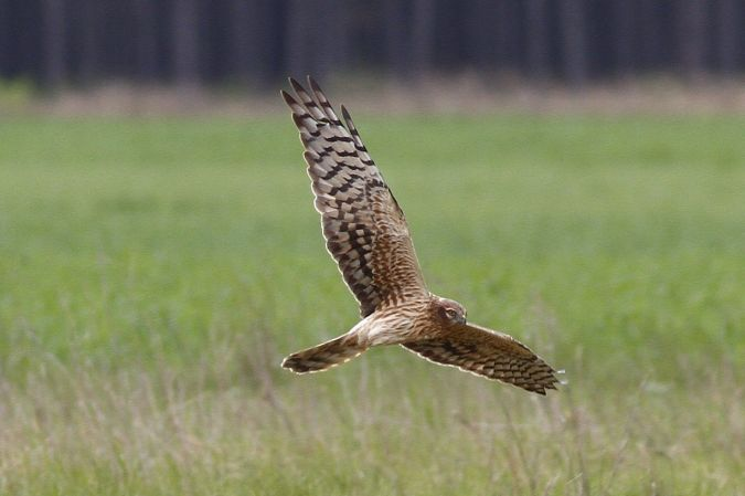 Montagu's Harrier  - Bernhard Zens