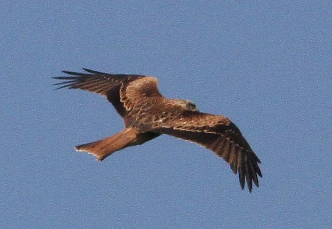 Red Kite  - Walter Pilshofer