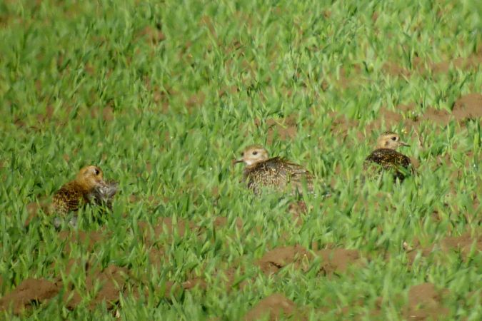 European Golden Plover  - Peter Denefleh