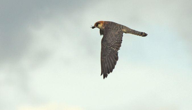 Red-footed Falcon  - Roman Matz