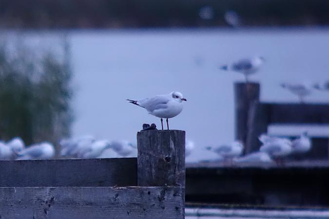 Mediterranean Gull  - Andreas Ranner