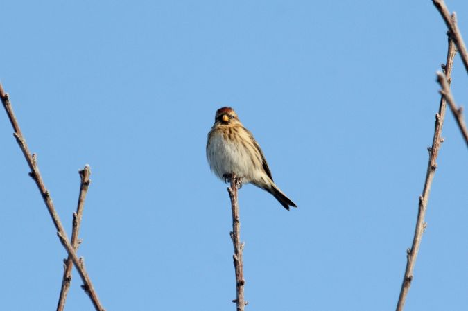 Mealy Redpoll  - Willibald Stani