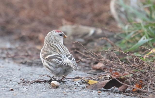 unidentified Bird  - Richard Katzinger