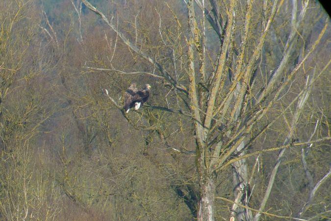 White-tailed Eagle  - Ilse Gerlach