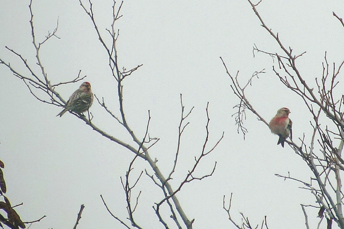 Mealy Redpoll  - Andreas Ranner