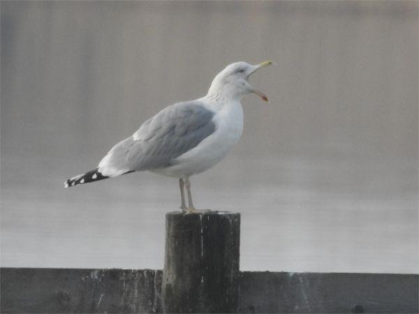 Herring Gull  - Bernd Tobler