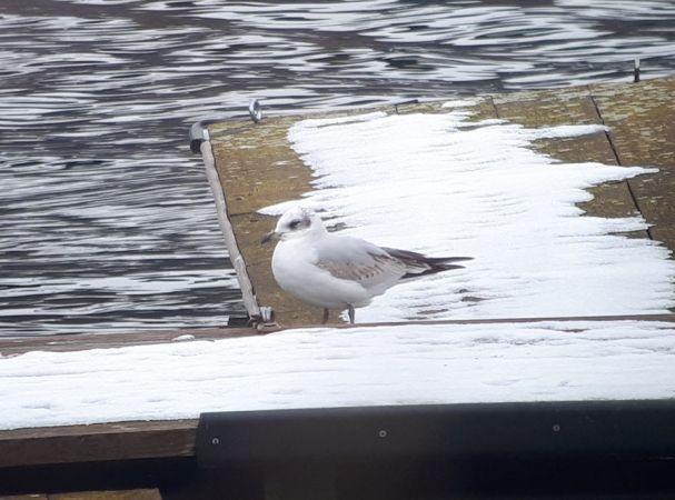 Mediterranean Gull  - Günther Wöss