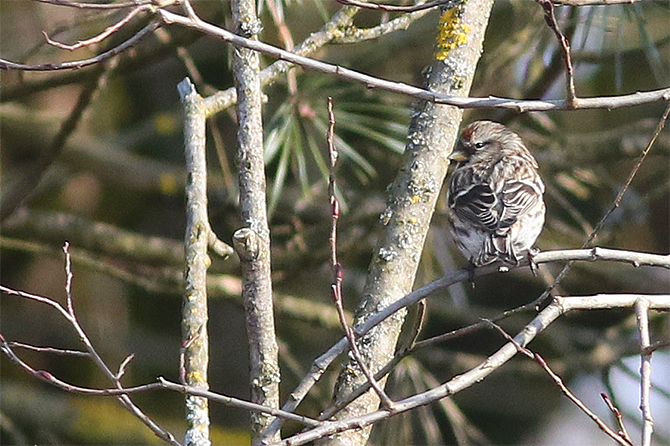 Mealy Redpoll  - Andreas Tiefenbach
