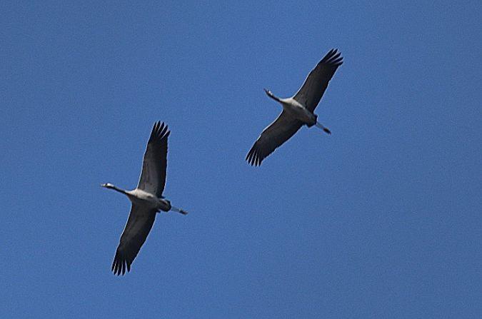 Common Crane  - Robert Welz