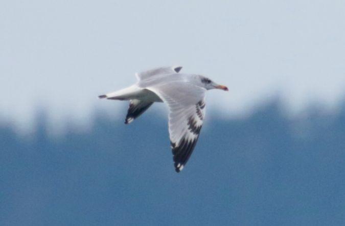 Great Black-headed Gull  - Richard Katzinger