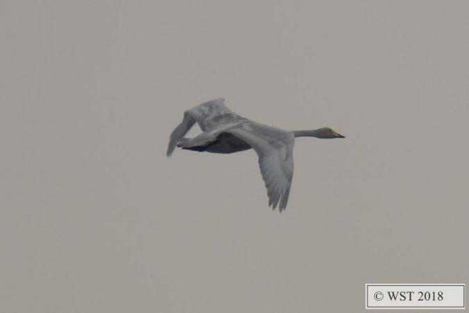 Whooper Swan  - Wolfgang Wellinghausen-Striebel