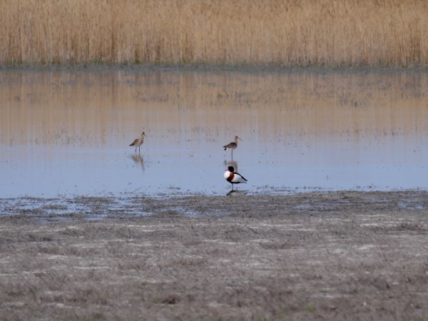 Common Shelduck  - Helmut Tratter