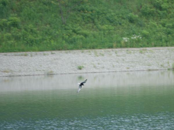 White-winged Tern  - Bruno Pichler