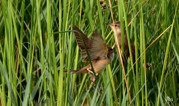 Great Reed Warbler  - Jean Bisetti