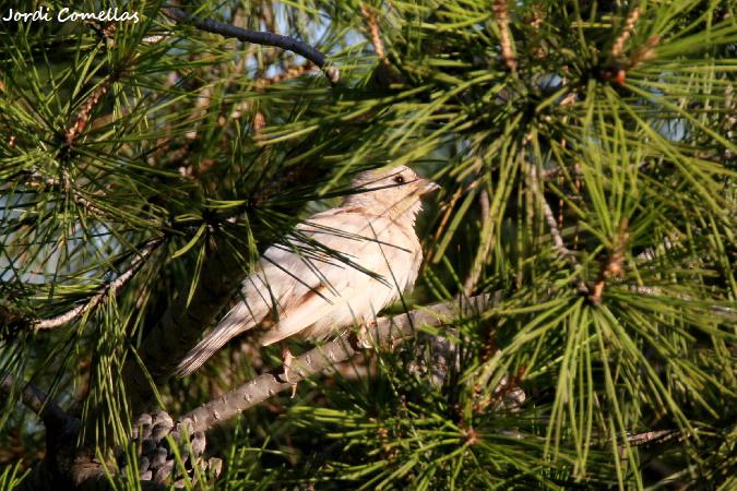 House Sparrow  - Jordi Comellas Novell