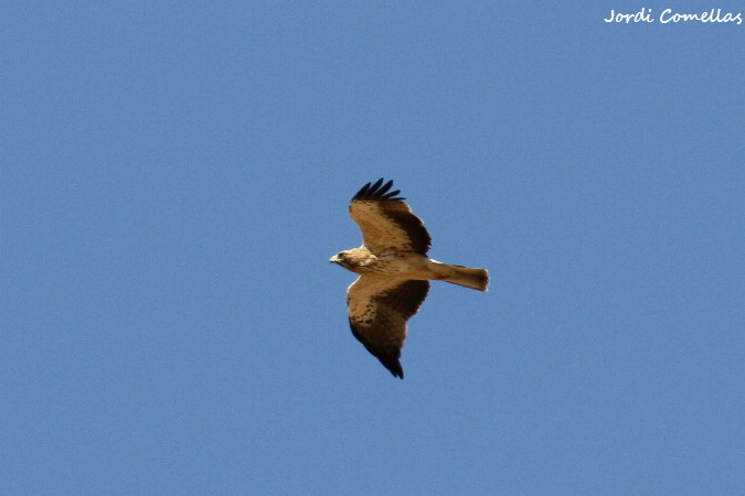 Àguila calçada  - Jordi Comellas Novell