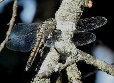 Black-tailed Skimmer  - Carlos Alvarez-cros