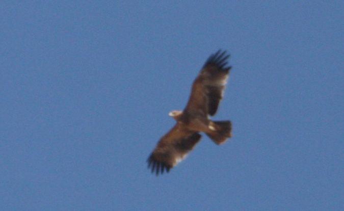 Spanish Imperial Eagle  - Carlos Grande