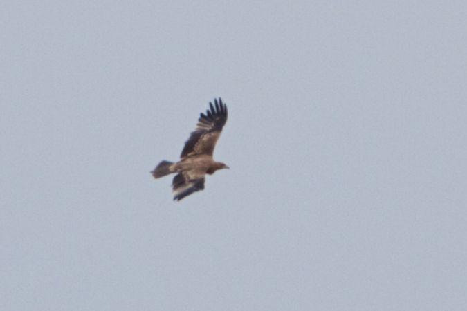 Àguila imperial ibèrica  - Marc Gálvez