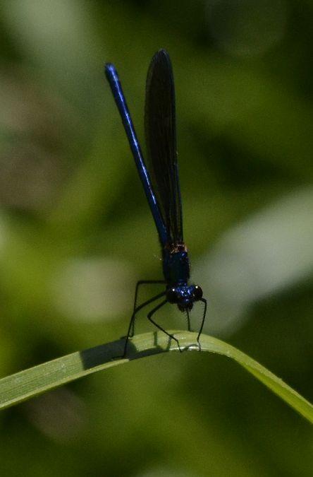 Caloptéryx occitan  - Enric Badosa