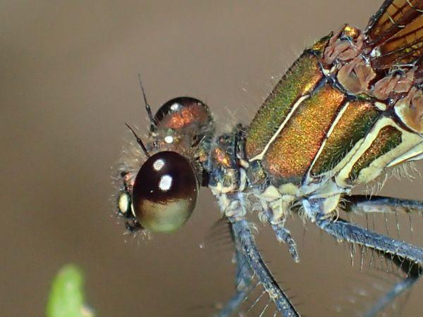 Caloptéryx hémorroïdal  - Enric Badosa