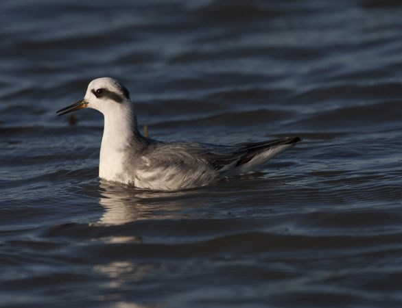 Red Phalarope  - David Bigas (parc Natural Delta Ebre)