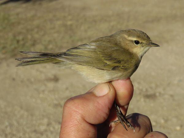 Common Chiffchaff (P.c.tristis)  - David Bigas (parc Natural Delta Ebre)