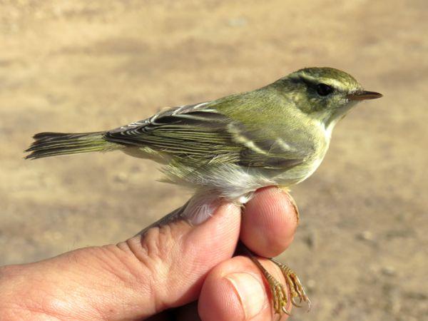 Mosquitero bilistado  - David Bigas (parc Natural Delta Ebre)