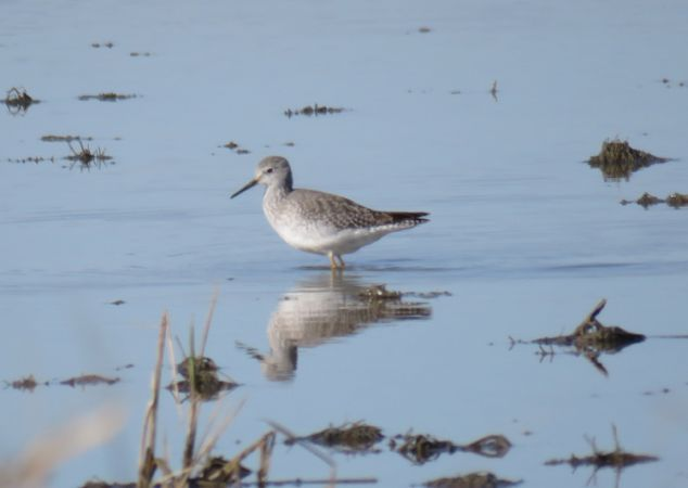 Lesser Yellowlegs  - David Bigas (parc Natural Delta Ebre)