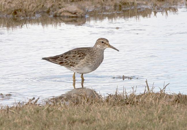 Correlimos Pectoral  - David Bigas (parc Natural Delta Ebre)
