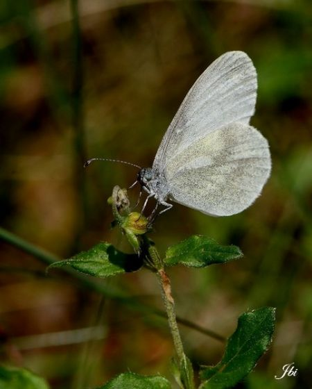 Wood White Leptidea  - Jean Bisetti