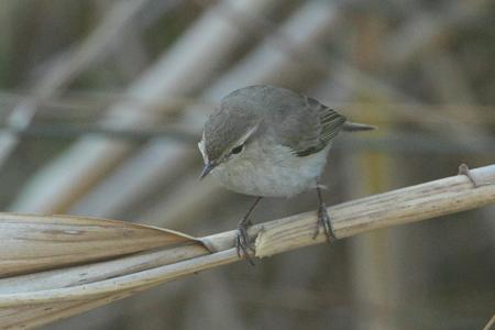 Mosquitero común (P.c.tristis)  - Jean Yves Bartrolich