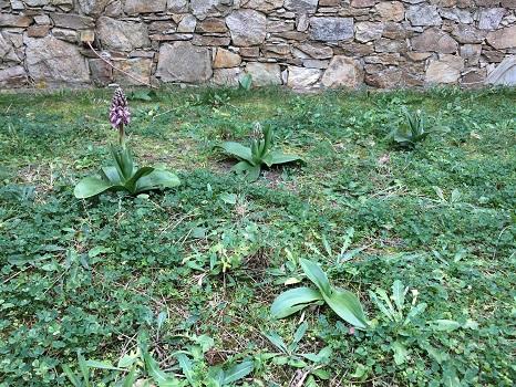 Orchis géant  - David Carrera Bonet