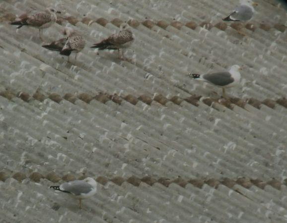 Herring Gull  - Martí Franch