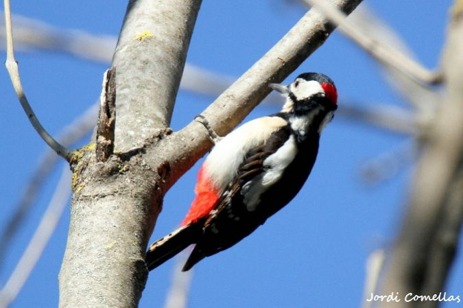 Great Spotted Woodpecker  - Jordi Comellas Novell