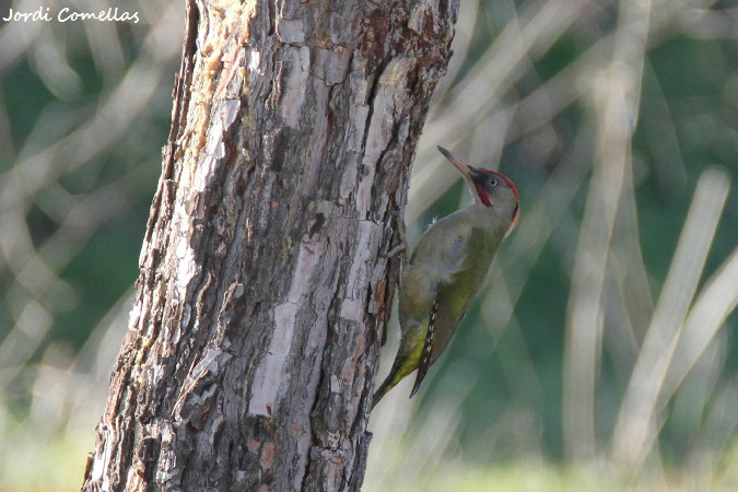 Iberian Woodpecker  - Jordi Comellas Novell
