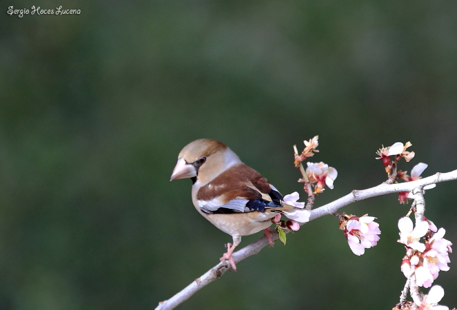 Hawfinch  - Sergio Hoces Lucena