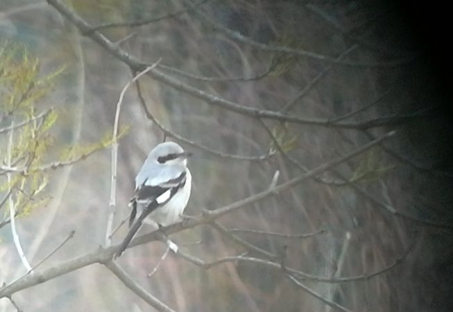 Steppe Grey Shrike  - Maria Llover