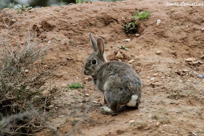 European Rabbit  - Jordi Comellas Novell