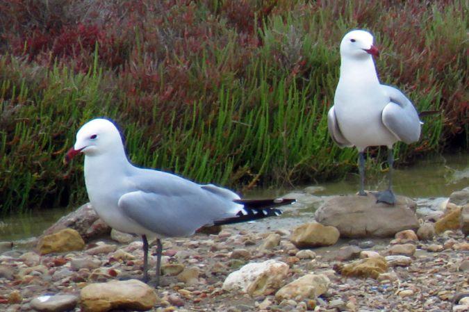 Audouin's Gull  - Raül Miralta Gamisans