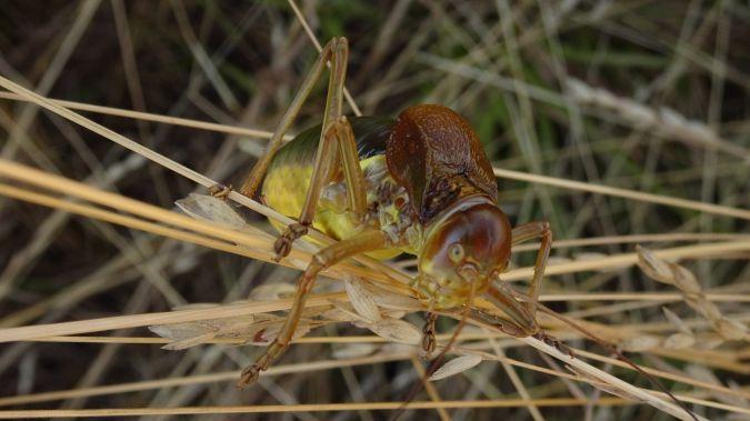 Sorapagus catalaunicus  - -Agents Rurals- Pallars Jussà
