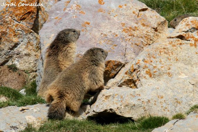 Marmota alpina  - Jordi Comellas Novell
