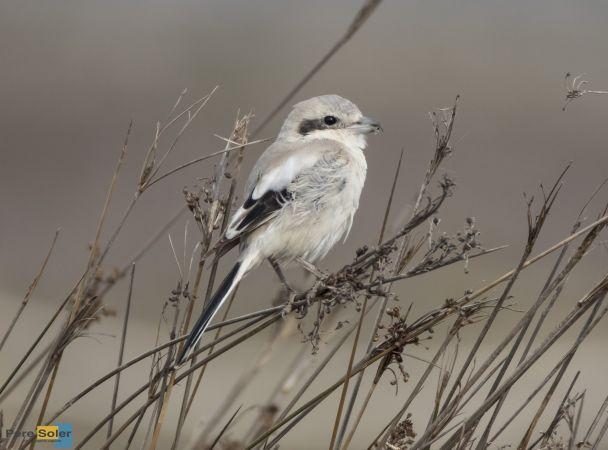 Steppe Grey Shrike  - Pere Soler