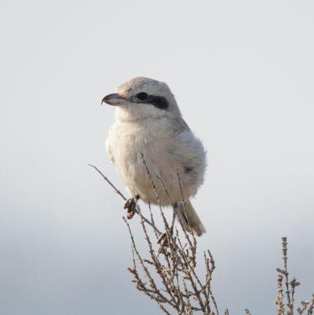 Steppe Grey Shrike  - Ángel Luceño